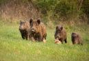 Afrikanische Schweinepest: Fünf weitere Fälle bestätigt