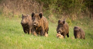 Afrikanische Schweinepest: Kerngebiet vergrößert – Pufferzone eingerichtet