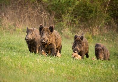 Afrikanische Schweinepest: Friedrich-Loeffler-Institut bestätigt 9 weitere Fälle (Update)